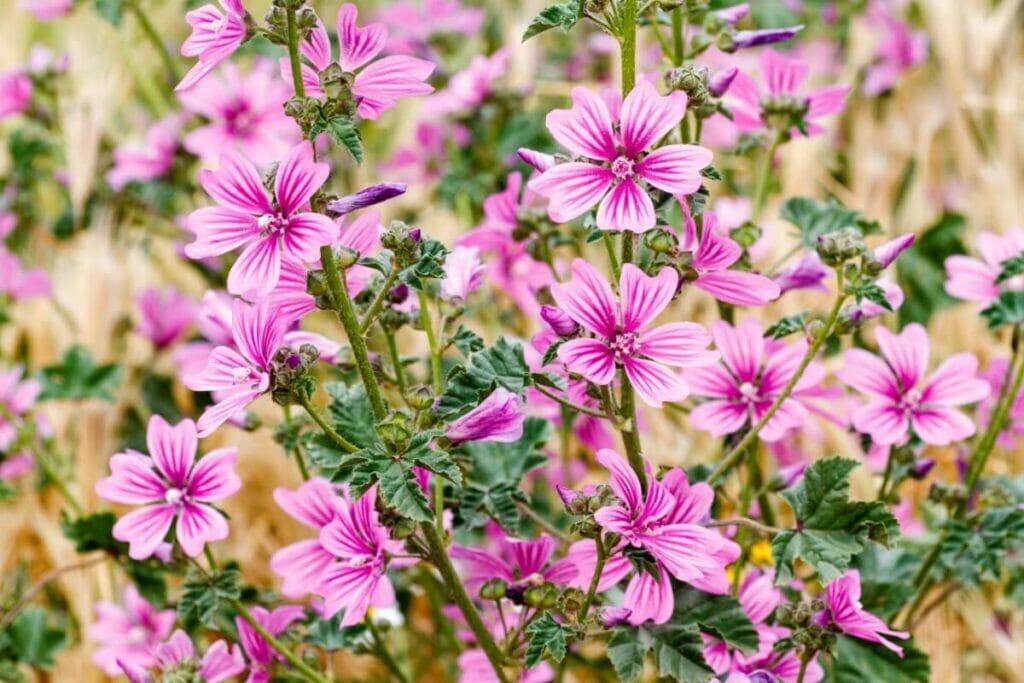 About Mallow (Malva) Flowers