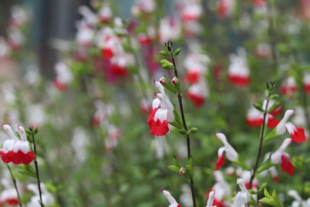 About Salvia greggii (Autumn Sage)