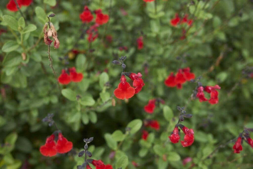 About Texas Sage (Salvia coccinea)