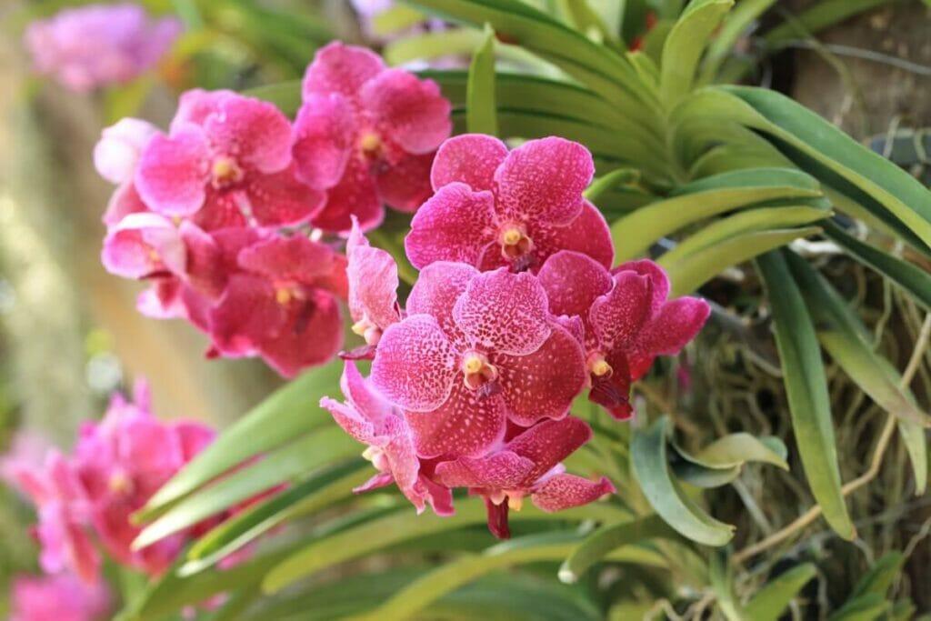 About Vanda Plants