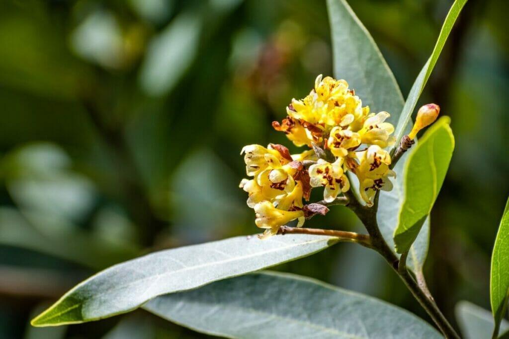 Bay Laurel Botanical Characteristics, Colors, Fragrances