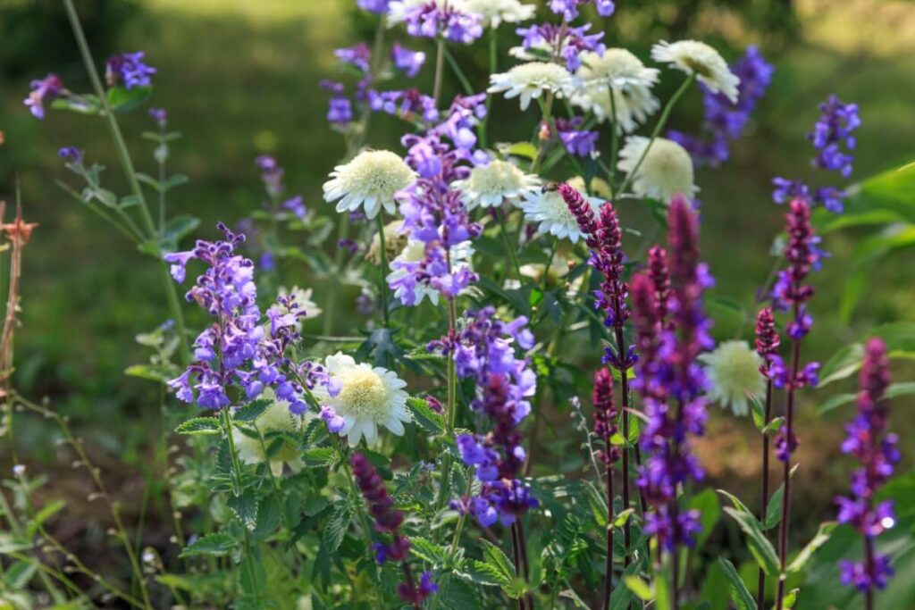 Best Companion Plants in the Garden for Woodland Sage
