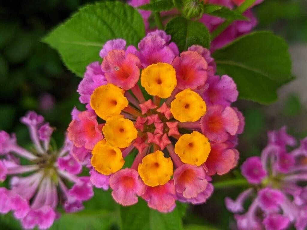 Botanical Characteristics