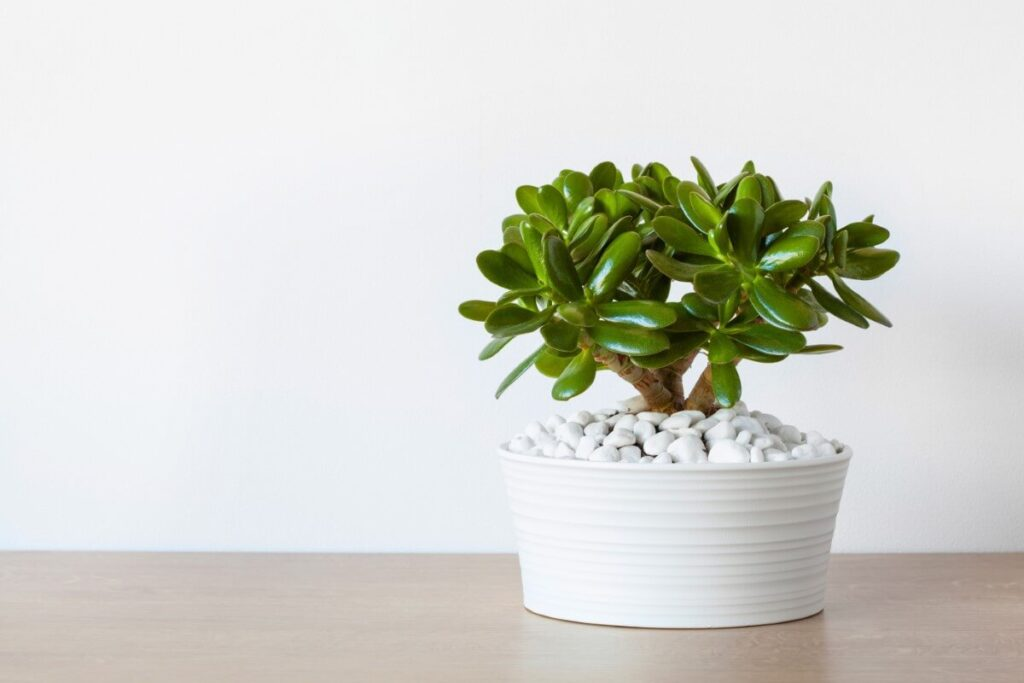 Can You Use Cactus or Orchid Soil Mixes with Jade Plants?