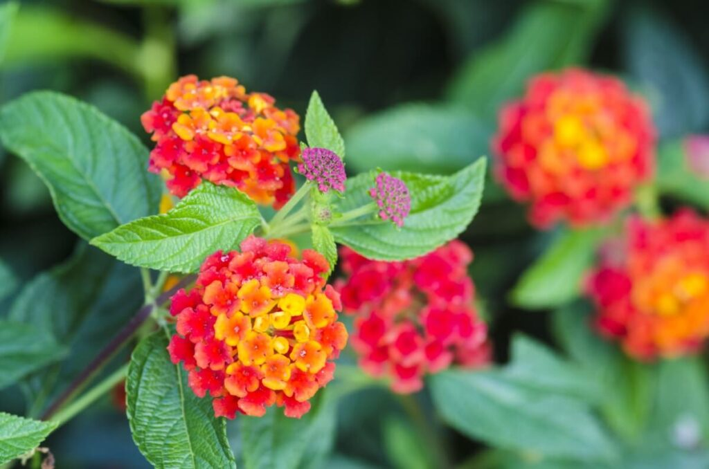 Common Lantana in the Victorian Language of Flowers