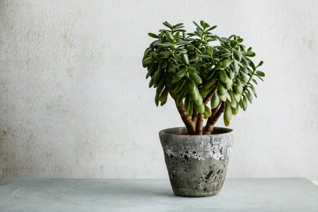 Common Signs You're Using the Wrong Soil Mix for Jade Plants
