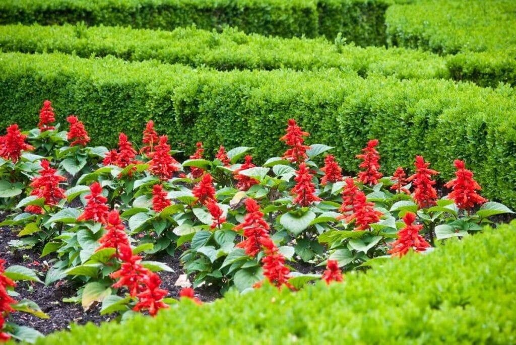 Growing Scarlet Sage From Seed vs. Transplanting