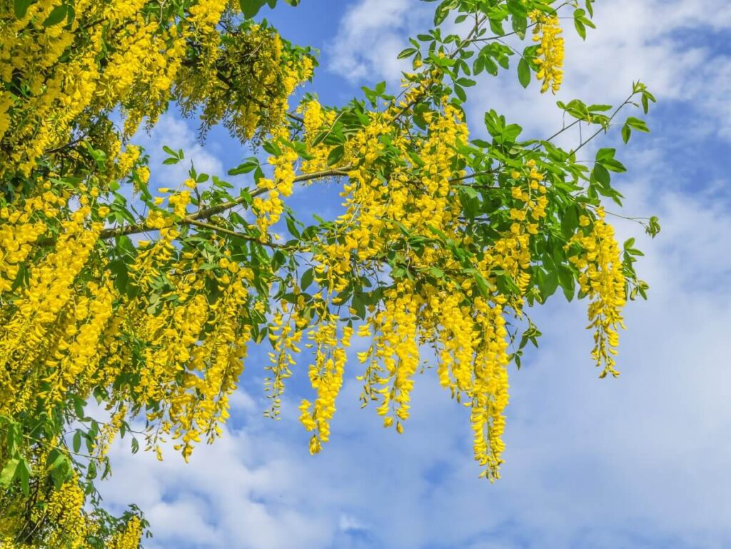 History & Origins of Laburnum Flowers
