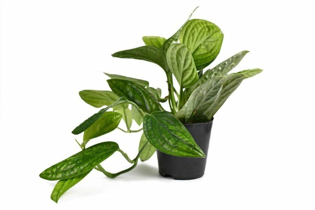 How to Care for Monstera Peru (Monstera Karstenianum) at Home