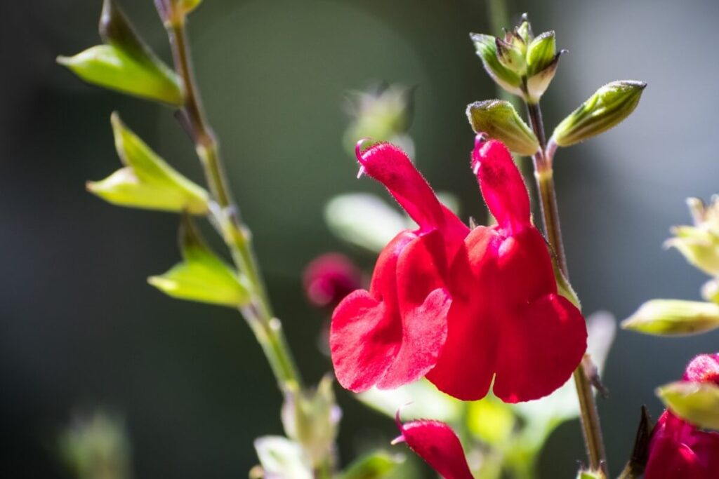How to Care for Salvia greggii (Autumn Sage)