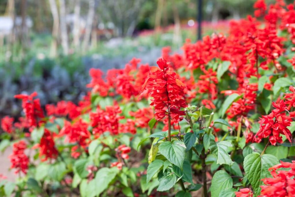 How to Care for Scarlet Sage (Salvia splendens)
