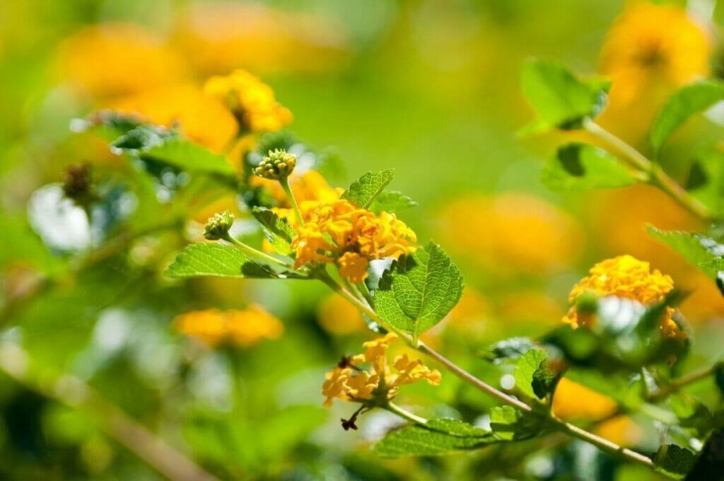 How to Care for Texas Lantana (Lantana urticoides)