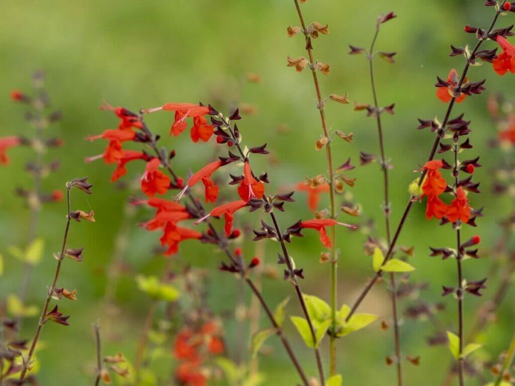 How to Care for Texas Sage (Salvia coccinea)