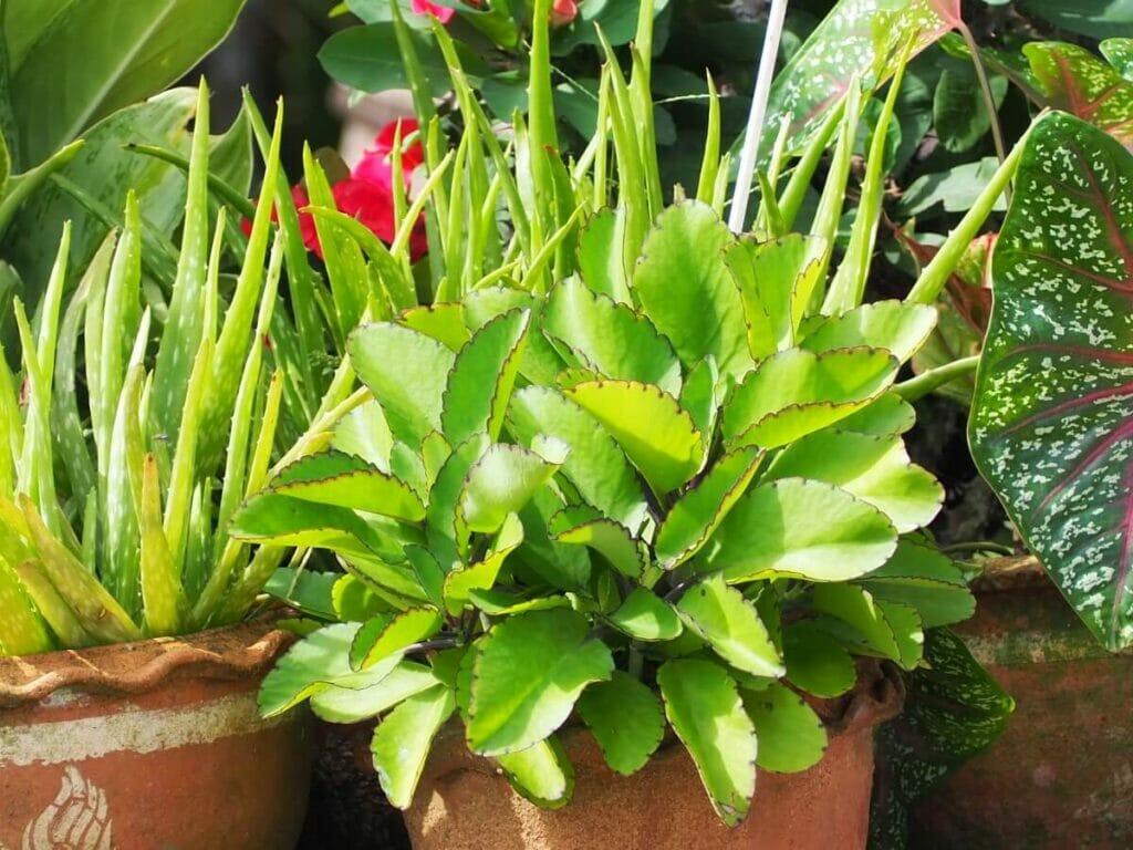 How to Grow Kalanchoe Pinnata (Cathedral Bells) at Home