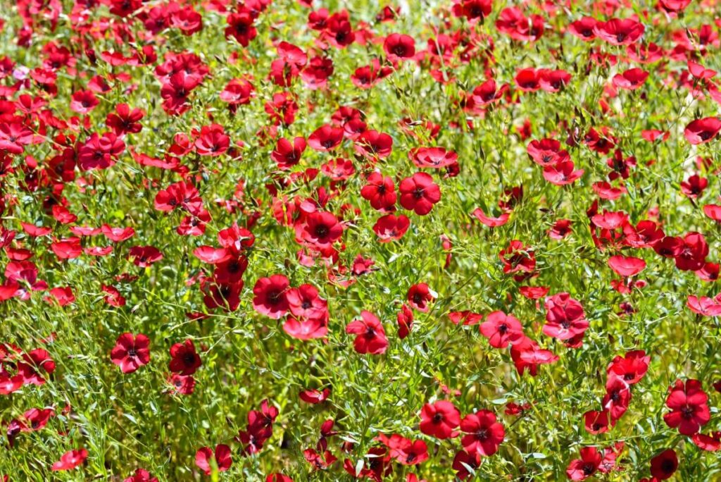 How to Grow Linum Grandiflorum (Red Flax)