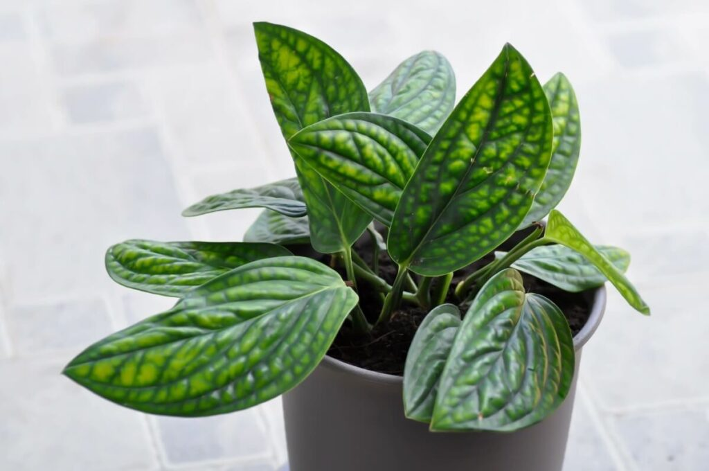 How to Grow Monstera Peru (Monstera Karstenianum) at Home