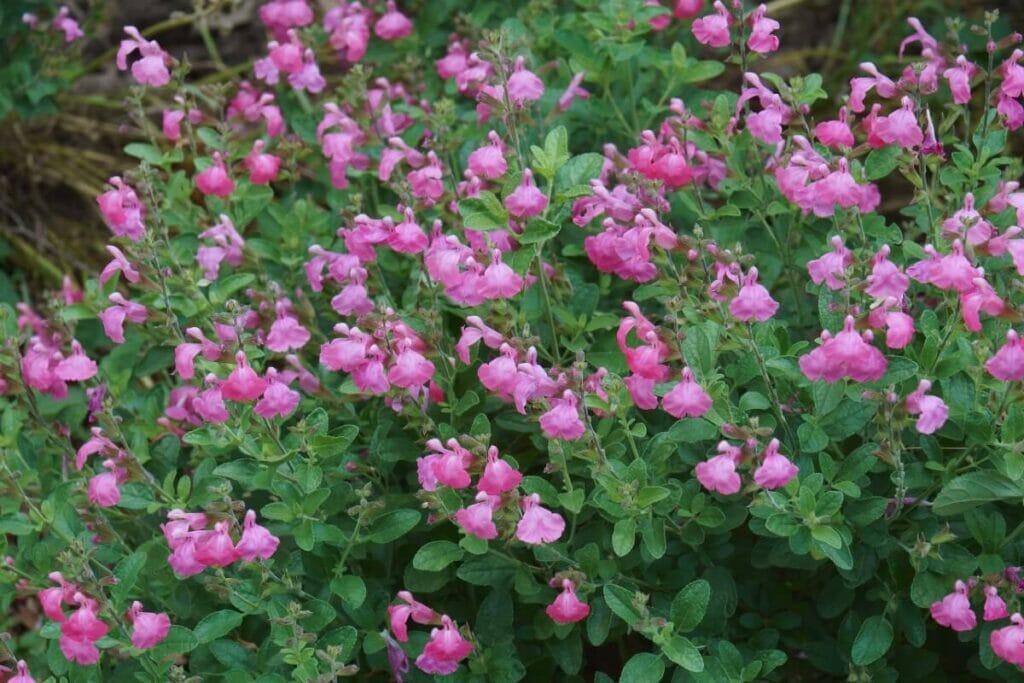 How to Grow Salvia greggii (Autumn Sage)