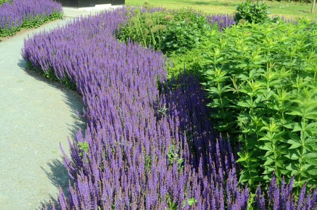 How to Grow Salvia nemorosa (Woodland sage)