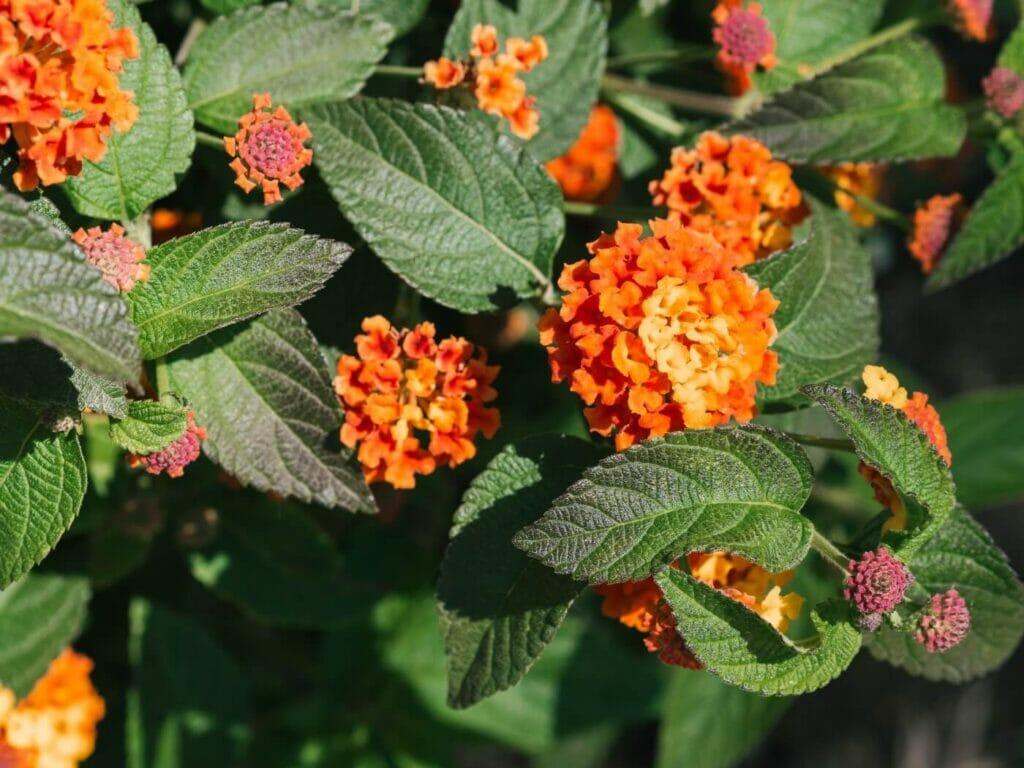 How to Grow Texas Lantana (Lantana urticoides)