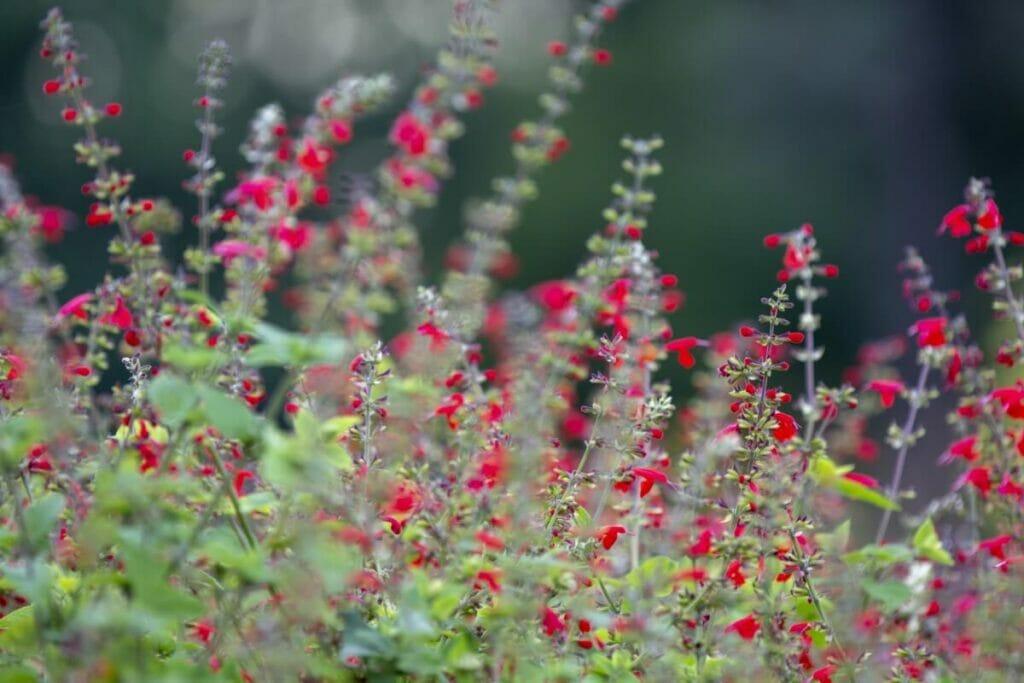 How to Grow Texas Sage (Salvia coccinea)
