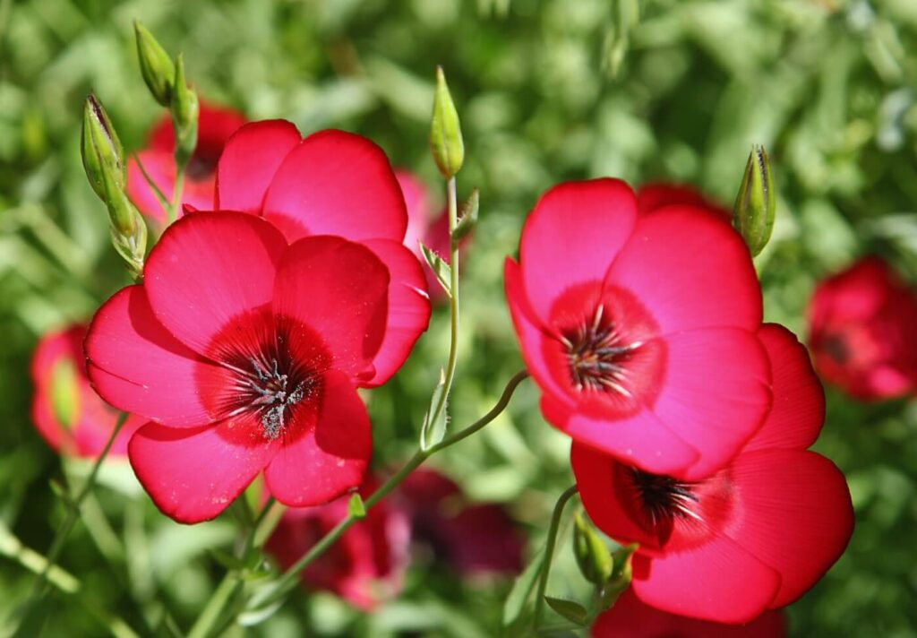 How to Grow and Care for Linum Grandiflorum (Red Flax)