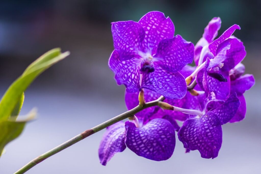 Meanings and Symbolism of Vanda Orchids