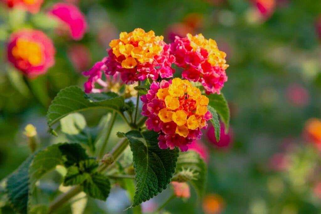 Popular Types of Lantana Flowers