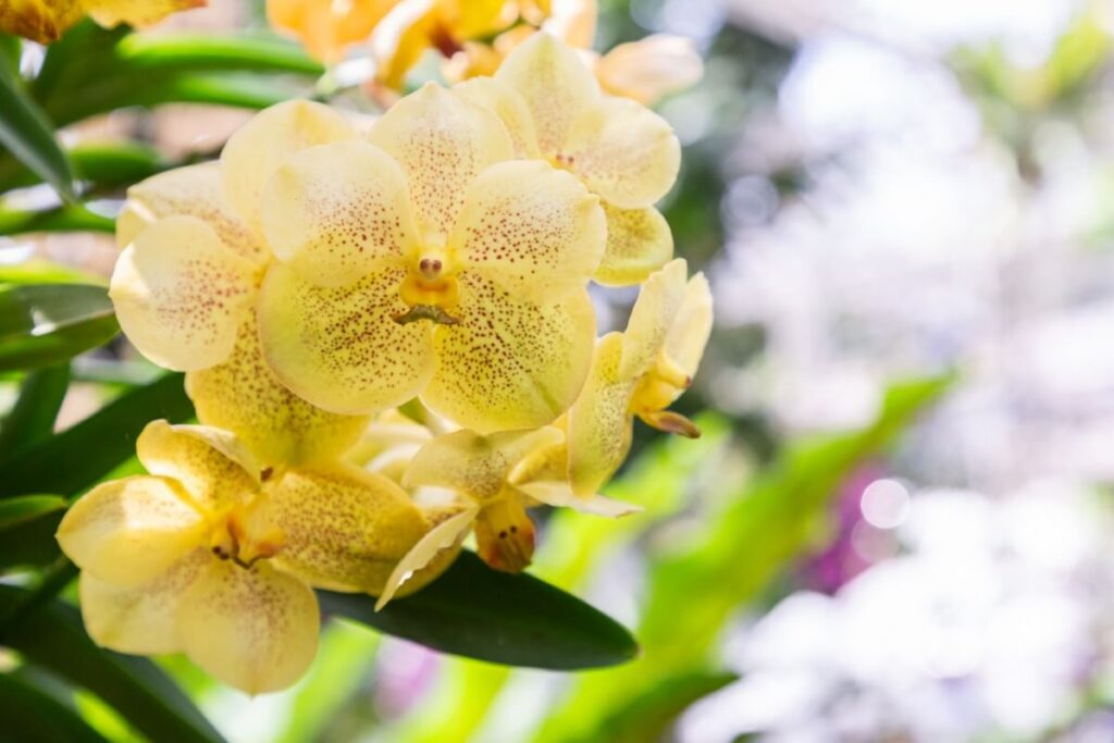 Pruning and Maintaining Vanda Orchids