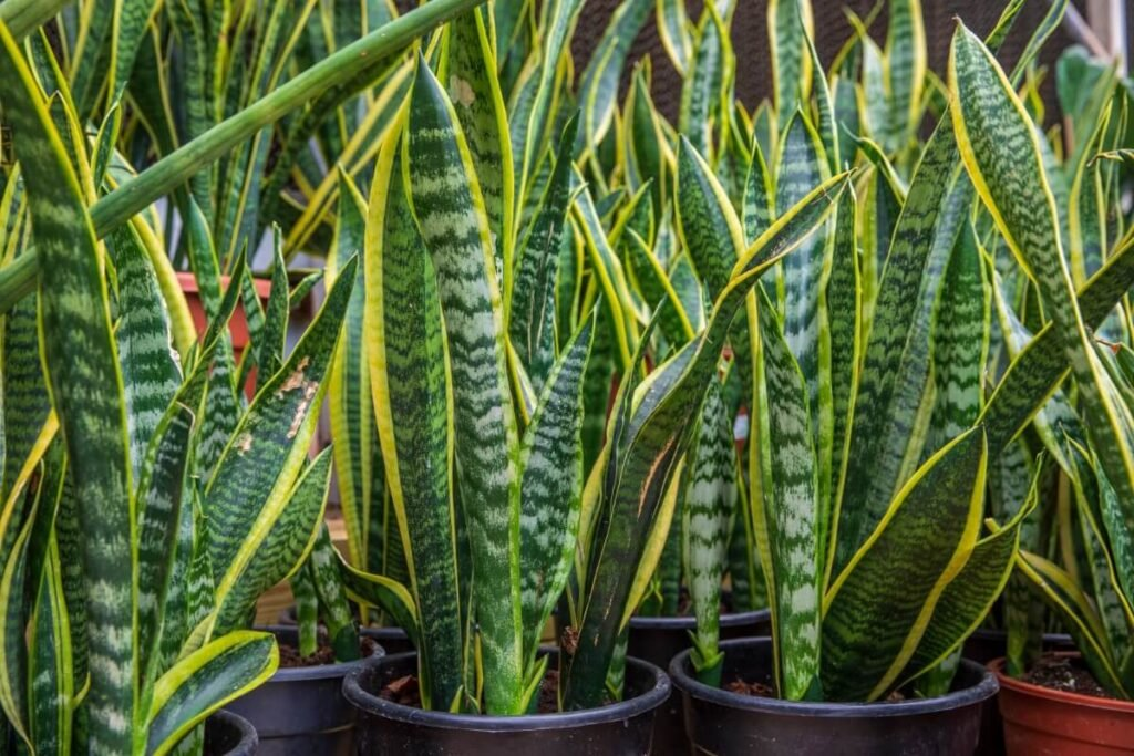 Recommended Pre-Mixed Soils for Snake Plants