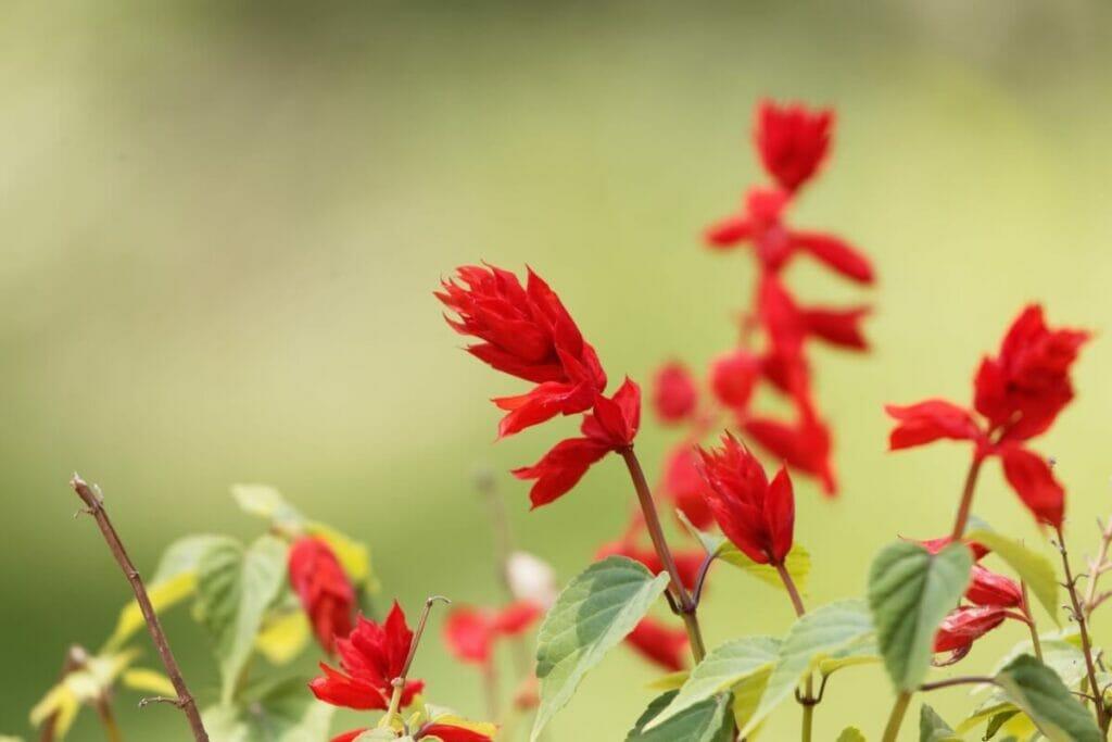 Scarlet Sage Botanical Characteristics