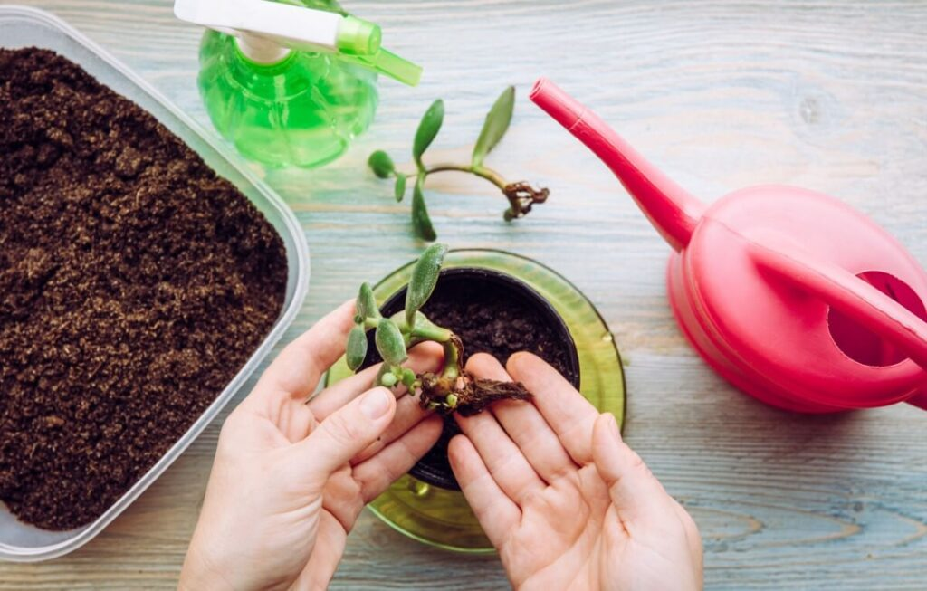 Soil Considerations When Repotting or Propagating Jade Plants