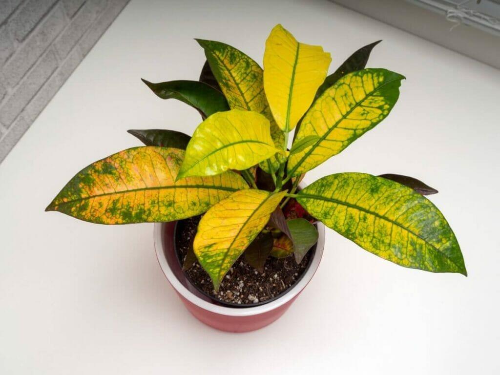 The Best Potting Soil for Repotting Croton Plants