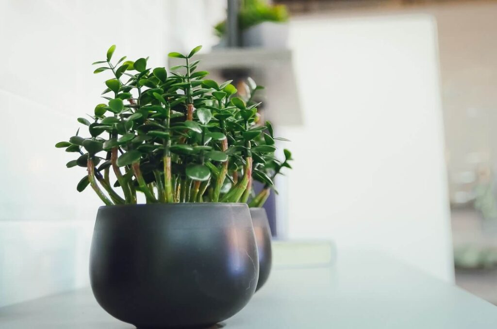 The Best Soil Mix for Jade Plants (Essential Tips)