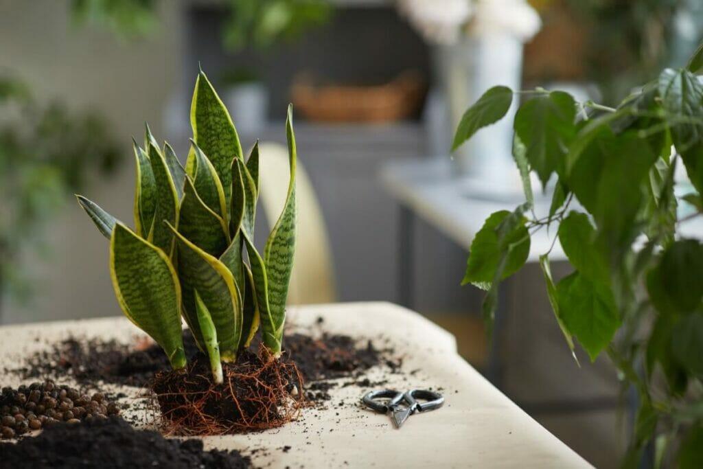The Best Soil for Repotting Snake Plants