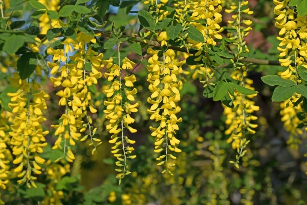 The Meaning, Symbolism and Cultural Significance of Laburnum (Golden chain tree)