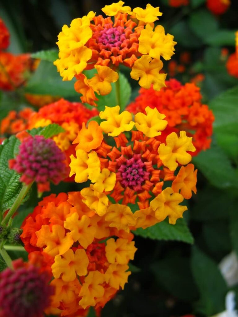 The Meaning, Symbolism, and Cultural Significance of Lantana Flowers