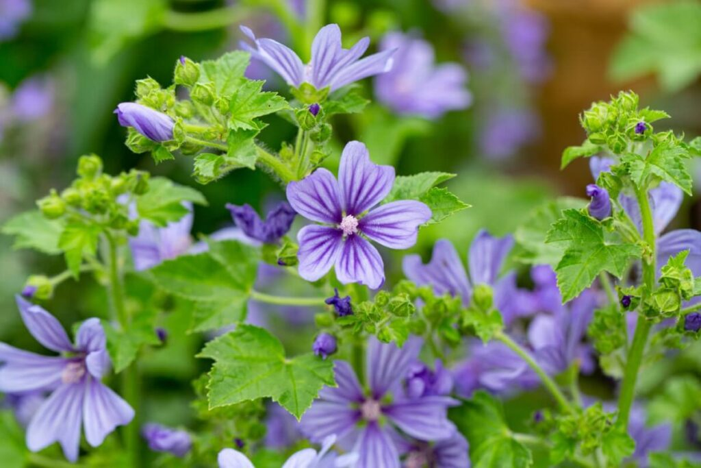 The Meaning, Symbolism and Cultural Significance of Mallow (Malva)