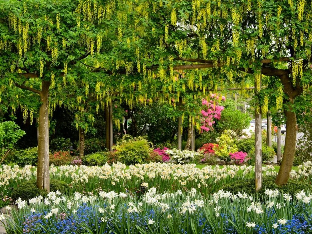 Ultimate Guide to Laburnum (Golden chain tree) Meaning