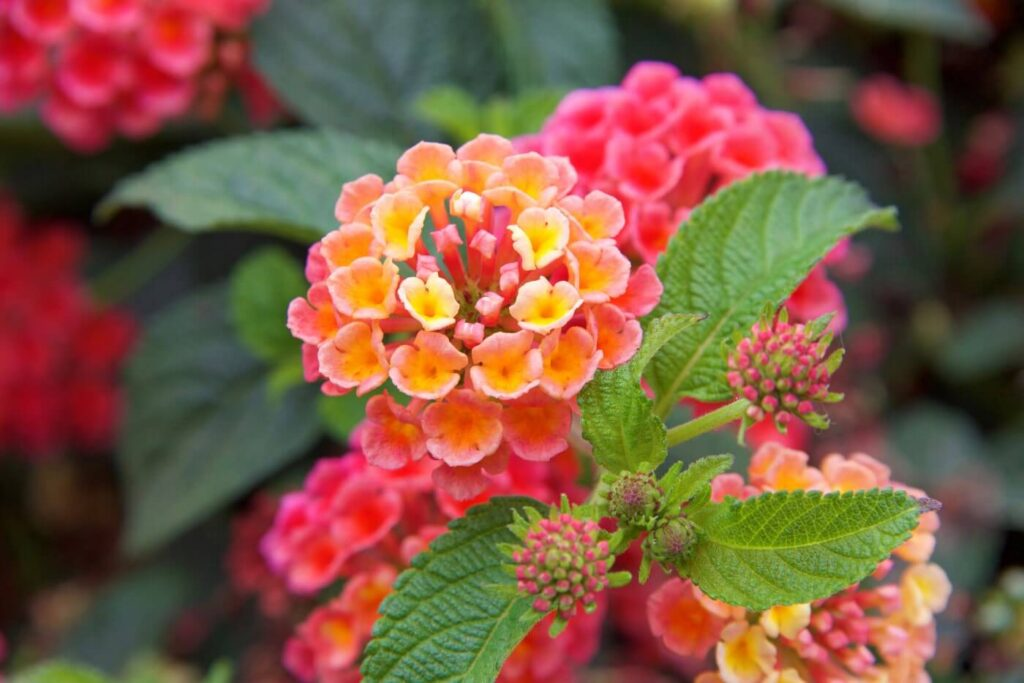Ultimate Guide to Lantana Flower Meaning and Symbolism
