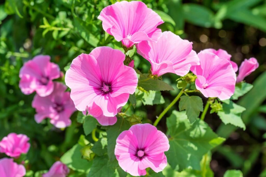 Ultimate Guide to Mallow (Malva) Flower Meaning & Symbolism