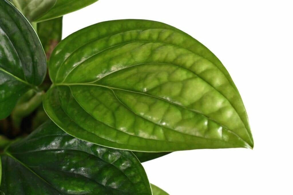 Ultimate Guide to Monstera Peru Plant Care (Monstera Karstenianum)