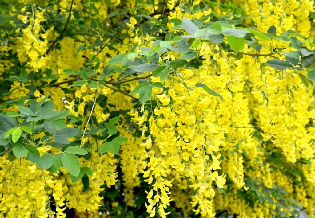 Uses & Benefits of Laburnum (Golden chain tree)