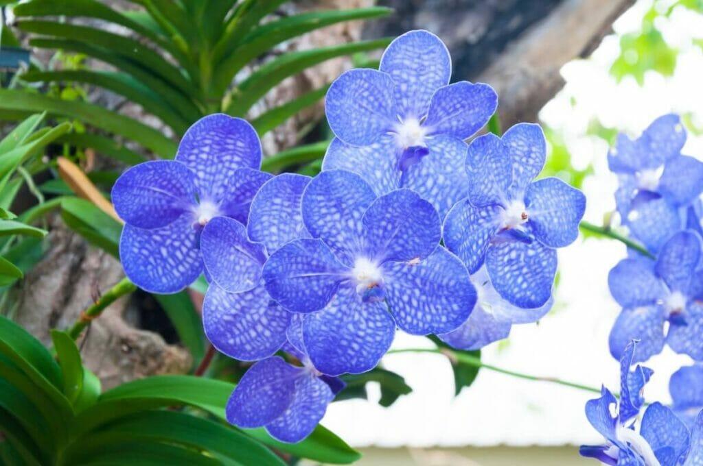 Vanda Orchid Light Preferences