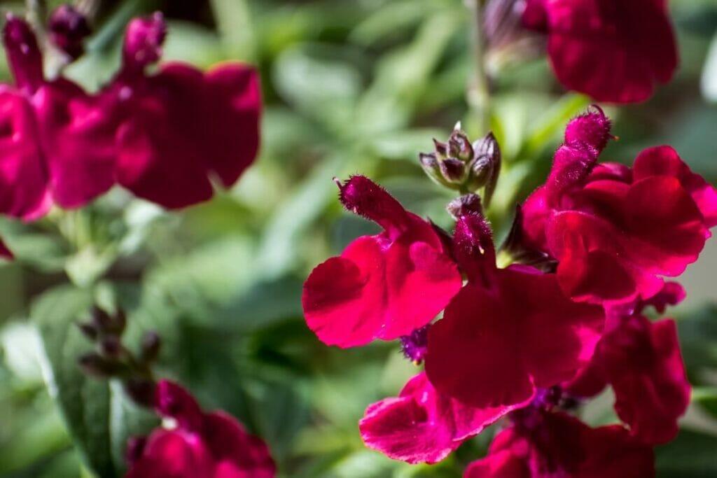 When Is Salvia greggii in Season?
