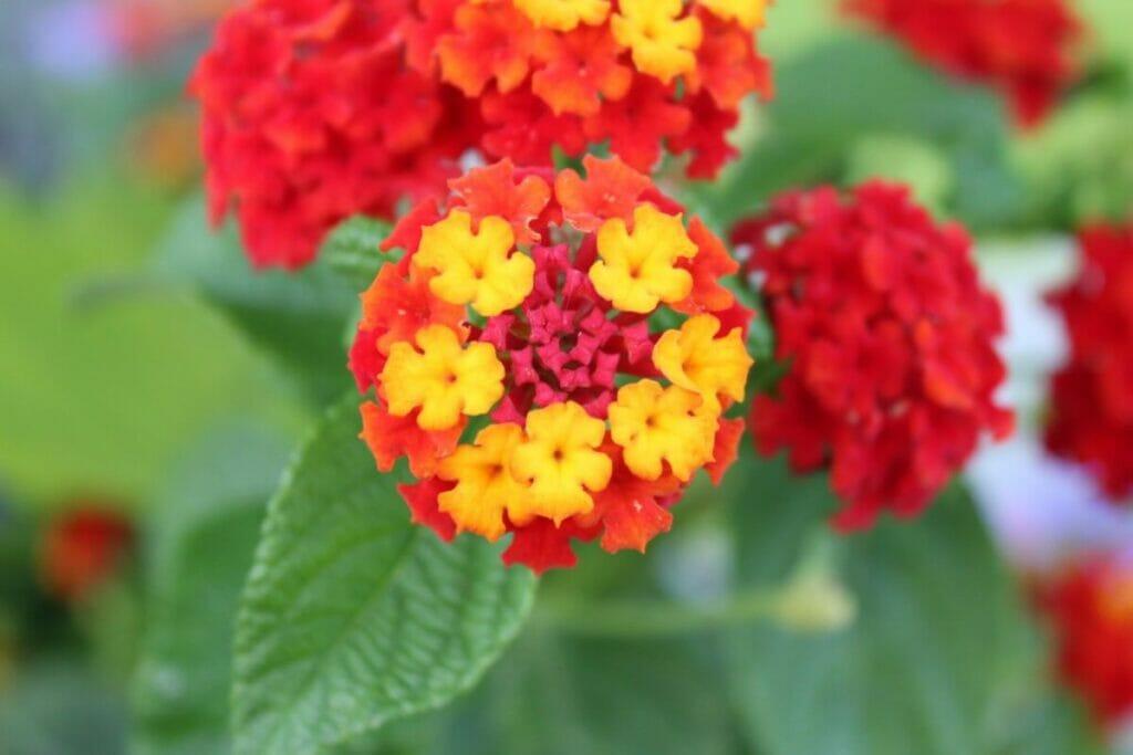 Where Do Lantana Flowers Come From?
